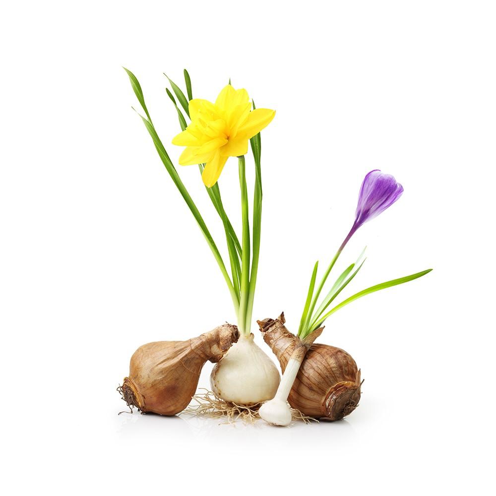 Sjemena i lukovice